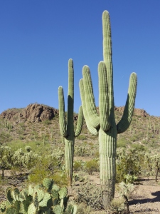 Carnegiea_gigantea_in_Saguaro_National_Park_near_Tucson,_Arizona_during_November_(58)